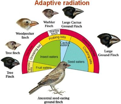 Adaptive-radiation Darwins finches
