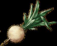 DQVIII - Moonwort bulb