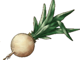 Moonwort bulb