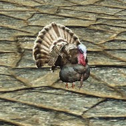 Companion turkey