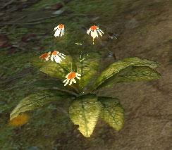 Chonchinis-plant