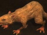 Wolf rat