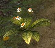 ConchinisPflanze
