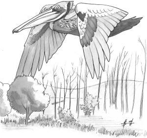 Goliath Pelican