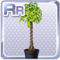 Pachira Plant Black