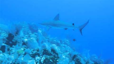 Shark in Grand Cayman