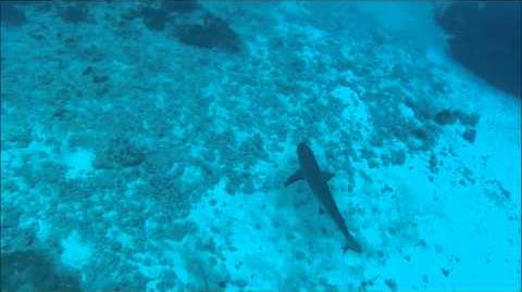 Scuba Diving With Sharks In Grand Cayman