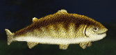 File:Trout.png