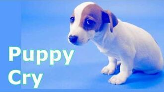 Puppy Crying Sound Puppy Crying Sound Effect to Stimulate Your Dog-0