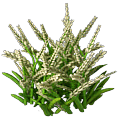 Basmati rice plant