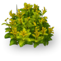 Tea bush.png