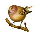 Coll birds big tomtit.png