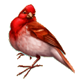 Coll birds red breast bird.png