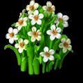 Daffodils plant
