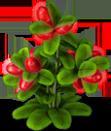 Magic fruit plant