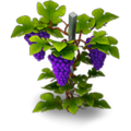 Grape vine.png
