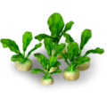 Turnip plant