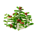 Cowberries plant.png