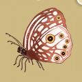Coll butterflies satyrid.png