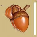 Coll fall acorns