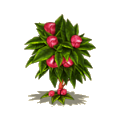 Cola tree.png
