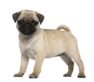 Pugerson the Pug from Baby Alive