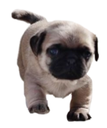 Jack Pug from Baby Alive