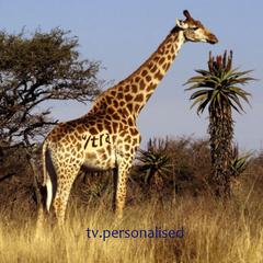 Giraffe ident, 2004. Used for documentary programming.