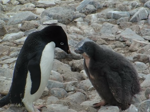 Adelie Penguin with baby chick