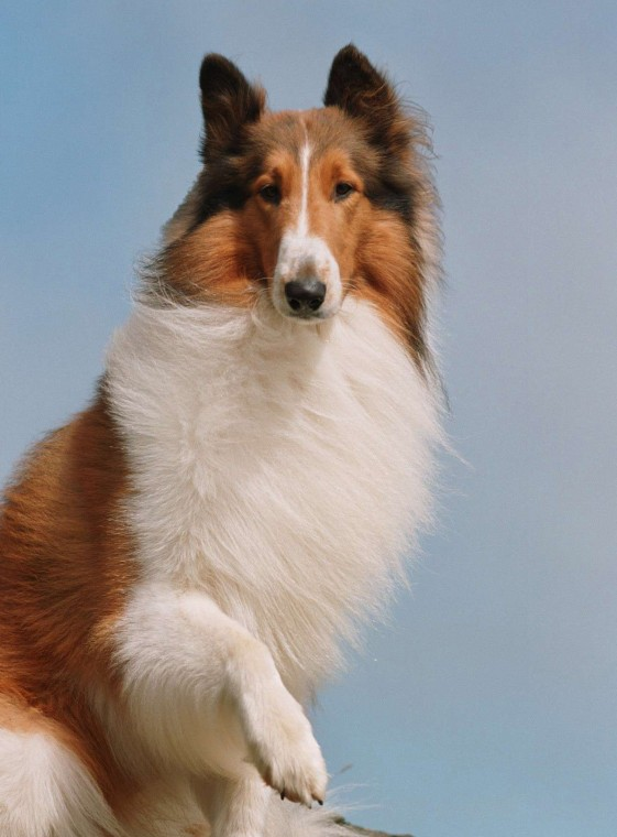 Lassie Dog Breed Name