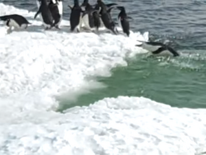 Adelie Penguins and Ice floats in Cape Royds