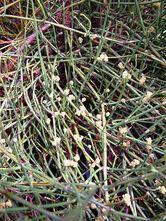450px-Ephedra sinica alexlomas