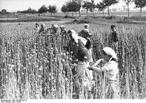 Bundesarchiv Bild 183-N0304-312, Mohnernte in der Magdeburger Börde