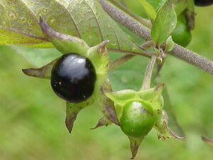 Atropa belladonna Beere