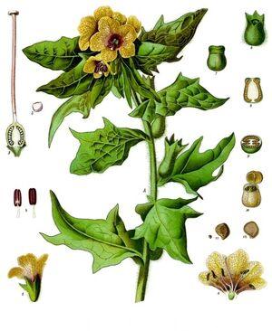 Hyoscyamus niger - Köhler–s Medizinal-Pflanzen-073