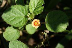 800px-Sida cordifolia top