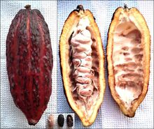 715px-Theobroma cacao - fruit, from inside, beans