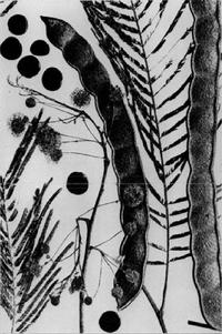 Anadenanthera-peregrina-bw