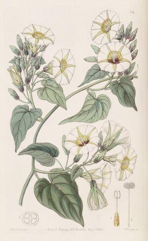 Turbina corymbosa (Ipomoea cymosa) Bot. Reg. 29. 24. 1843
