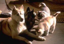Diefenbaker Puppies Wild Bunch