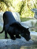 438715-animal-lovers-black-panther-wallpaper-10