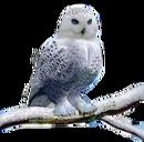 Rheine's owl Saona burned
