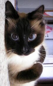 2awesome-eyes-siamese-cat-pics