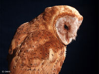 Madagascar-red-owl img01-l