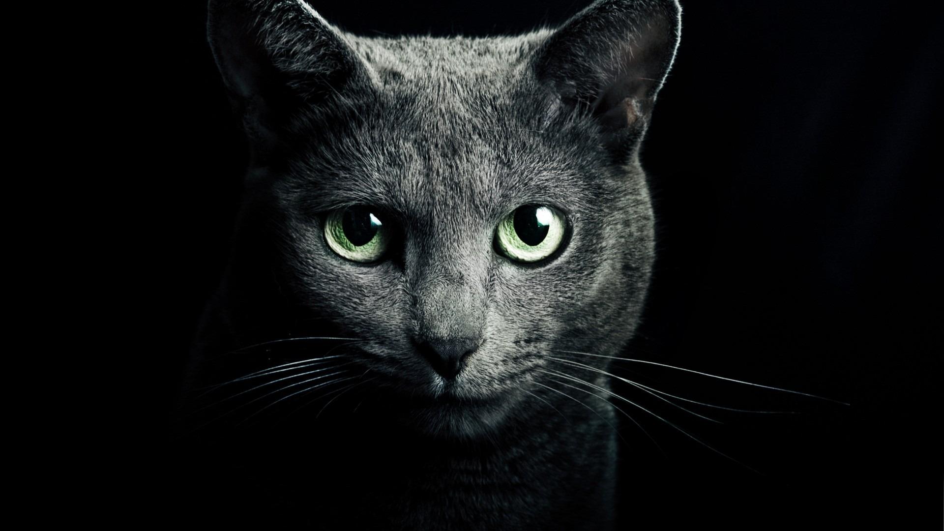 Image Grey russian blue cat 1920 1080 8024