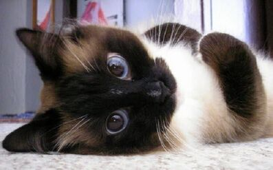 Awesome-eyes-siamese-cat-pics