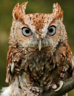 SiobhanKH Owl