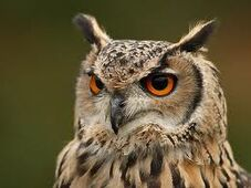 EagleOwl