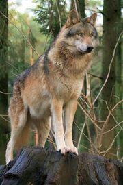 Roy Wolf