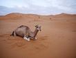 Wikia DARP - Camel in desert